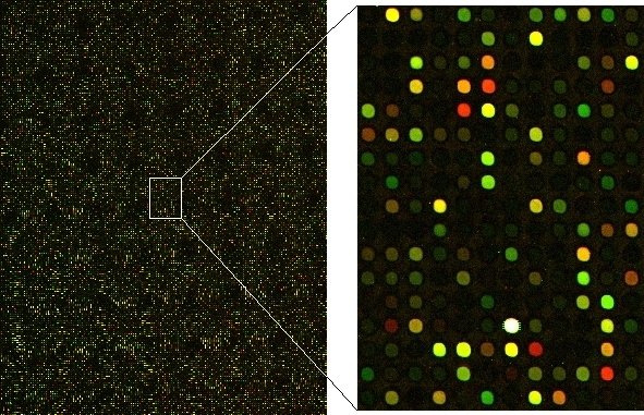 Dual color microarray image